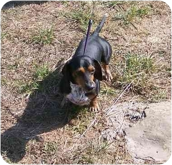Dachshund Mix Dog for adoption in Gallatin, Tennessee - Boots