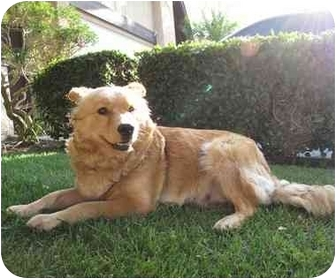 Chow Chow/Golden Retriever Mix Dog for adoption in Riverside, California - Sadie