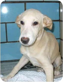 Labrador Retriever/Shepherd (Unknown Type) Mix Puppy for adoption in Sacramento, California - Leah!