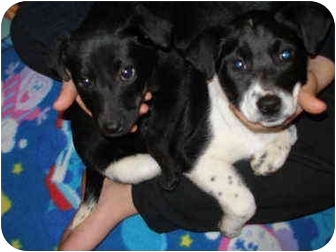 Labrador Retriever Mix Puppy for adoption in Grayslake, Illinois - Zoey