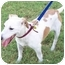 Photo 2 - Jack Russell Terrier Dog for adoption in Phoenix, Arizona - RUSTY