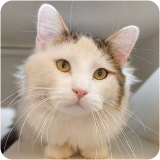 Domestic Longhair Cat for adoption in Toronto, Ontario - Ethan