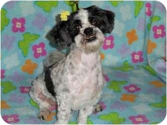 Shih Tzu Mix Dog for adoption in Kokomo, Indiana - Duchess