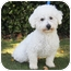 Photo 3 - Bichon Frise Dog for adoption in La Costa, California - Bogey and Bacall