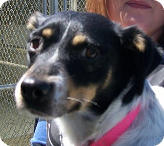 Australian Cattle Dog/Collie Mix Dog for adoption in Grants Pass, Oregon - Sasha