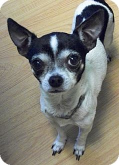 Chihuahua Dog for adoption in Struthers, Ohio - Jasper PURE