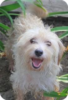 Poodle (Miniature)/Schnauzer (Miniature) Mix Dog for adoption in Norwalk, Connecticut - Fraggles - Meet him!