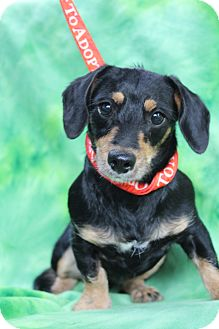Dachshund/Miniature Pinscher Mix Puppy for adoption in Hamburg, Pennsylvania - Rosie