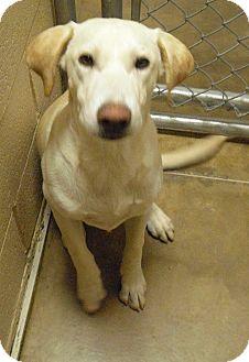 Labrador Retriever Mix Dog for adoption in Wickenburg, Arizona - Charlie
