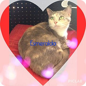 Domestic Shorthair Cat for adoption in Clarksville, Tennessee - Esmerelda $25 to adopt a kitty