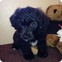 Adopt A Pet :: Sophie - Inglewood, CA