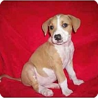 Adopt A Pet :: Ginger - Arlington, TX