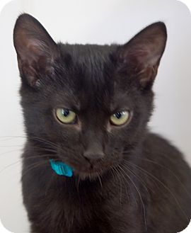 Domestic Shorthair Cat for adoption in Chattanooga, Tennessee - Huck