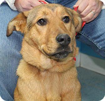 Labrador Retriever/German Shepherd Dog Mix Dog for adoption in Chicago, Illinois - Princess*ADOPTED!*