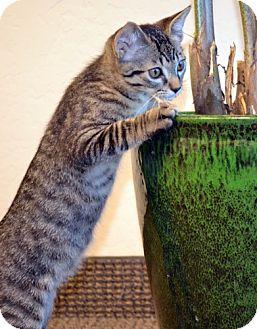 Domestic Mediumhair Kitten for adoption in Chandler, Arizona - Indy