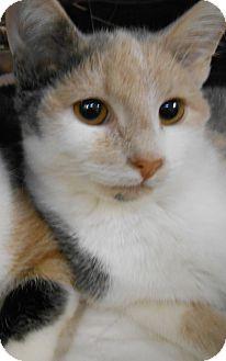 Manx Cat for adoption in Chambersburg, Pennsylvania - Jess