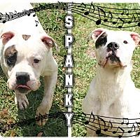Adopt A Pet :: Spanky - Tampa, FL