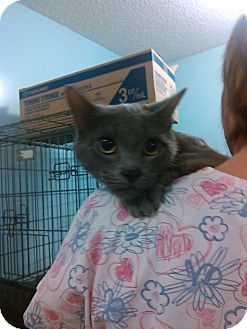 Domestic Shorthair Cat for adoption in Muskegon, Michigan - Rosie Paws