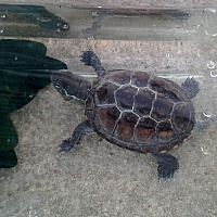 Adopt A Pet :: Reeve's Turtle - Baltimore, MD