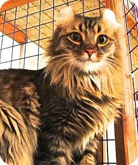 American Curl Cat for adoption in Davis, California - The Frisco Kid