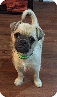 Pug/Brussels Griffon Mix Puppy for adoption in Troy, Michigan - Arthur
