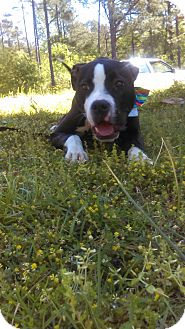 Pit Bull Terrier Mix Dog for adoption in Williamsburg, Virginia - Cash