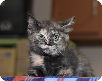 Domestic Shorthair Kitten for adoption in Medina, Ohio - Roma