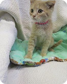 Domestic Shorthair Kitten for adoption in Buena Vista, Colorado - Harlow