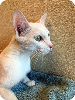 Domestic Shorthair Cat for adoption in Las Vegas, Nevada - Cricket