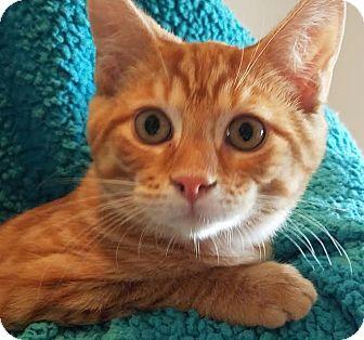 Domestic Shorthair Kitten for adoption in Colfax, Iowa - Dino