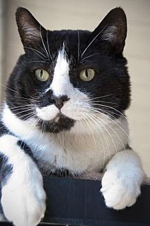 Domestic Shorthair Cat for adoption in Seal Beach, California - Tommy