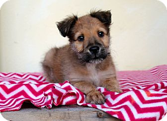 Shepherd (Unknown Type)/Chow Chow Mix Puppy for adoption in Los Angeles, California - Elf