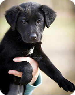 Labrador Retriever/Shepherd (Unknown Type) Mix Puppy for adoption in Brattleboro, Vermont - Indie 💜 ADOPTED!