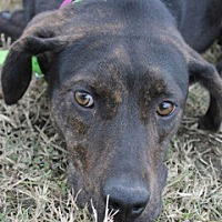 Hound (Unknown Type) Mix Dog for adoption in New Roads, Louisiana - Shy Tara