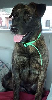 Labrador Retriever/German Shepherd Dog Mix Dog for adoption in Phoenix, Arizona - Blitzen
