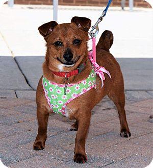 Chihuahua Mix Dog for adoption in Charlotte, North Carolina - Kiwi