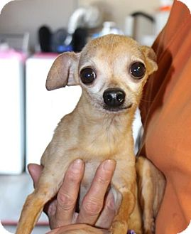 Chihuahua Mix Dog for adoption in Northbrook, Illinois - Poquito