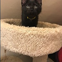 Adopt A Pet :: Coal - Chicago, IL