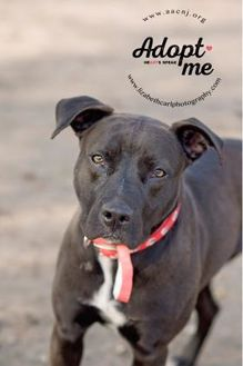 Labrador Retriever Mix Dog for adoption in Lindenwold, New Jersey - Annabelle
