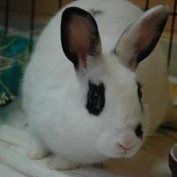 Adopt A Pet :: Pigeon - Bedford, NH