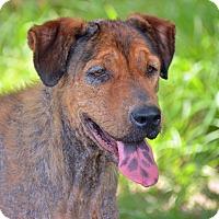 Adopt A Pet :: 10311689 HALEY - Brooksville, FL