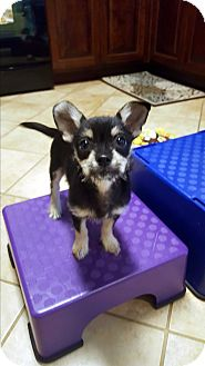 Chihuahua/Yorkie, Yorkshire Terrier Mix Puppy for adoption in Homewood, Alabama - Murphy