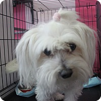 Maltese Dog for adoption in Houston, Texas - J.J.