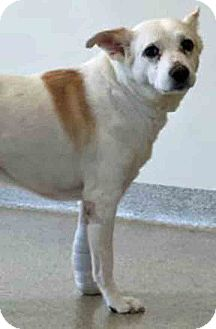 Shiba Inu Mix Dog for adoption in Gahanna, Ohio - ADOPTED!!!   Ella