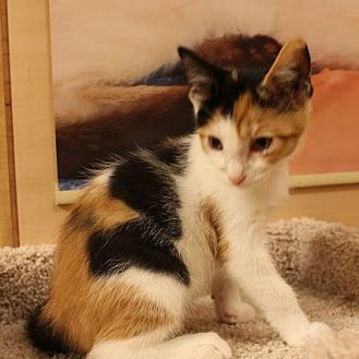 Calico Kitten for adoption in Richmond Hill, Ontario - Carrie