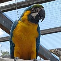 Macaw for adoption in Elizabeth, Colorado - Big Blue