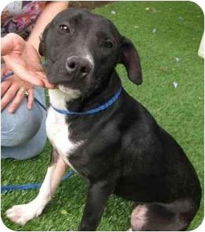 Labrador Retriever Mix Dog for adoption in Riverside, California - Shellie