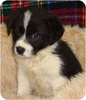 Collie Mix Puppy for adoption in Brenham, Texas - Johnny