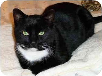 Domestic Shorthair Cat for adoption in Baltimore, Maryland - Chin Chin