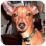 Photo 1 - Miniature Pinscher Mix Dog for adoption in Springvale, Maine - Quinn